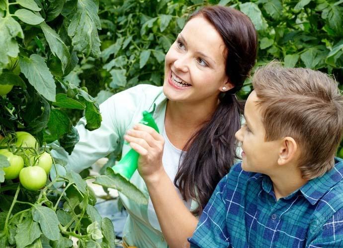 Желательно периодически проводить опрыскивание надземной части томатных кустов раствором на основе марганцовокислого калия